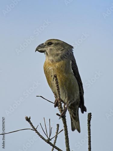 Foto Spatwand Papegaai parrot crossbill (Loxia pytyopsittacus)