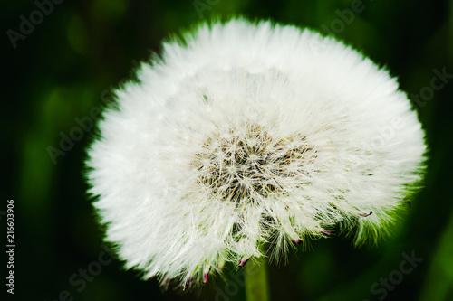 Canvas Paardenbloemen Beautiful dandelion in the field. Selective focus. Shallow depth of field.