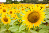 fields of bright flowering sunflowers