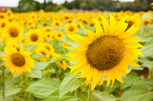 Fotobehang Oranje fields of bright flowering sunflowers
