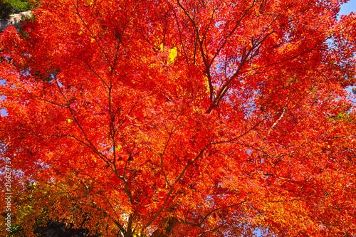 Fotobehang Rood traf. 紅葉シーズンの鎌倉、紅葉の森