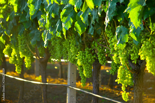 Foto Spatwand Wijngaard Vineyard field harvest with white grape bunches for winery during sunset