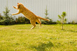 Ginger cat jumping on a green grass background.
