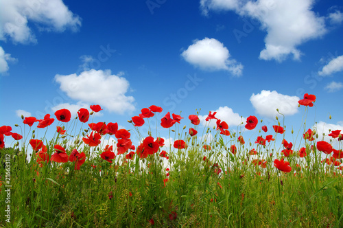 Red poppies on field - 216633112