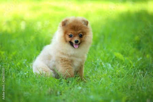 Pomeranian Dog Sitting In Green Grass Buy Photos Ap Images