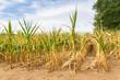 Leinwanddruck Bild - Agricultural damage drought in corn plants