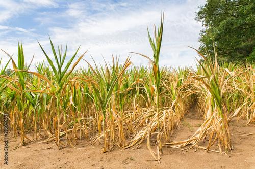 Leinwanddruck Bild Agricultural damage drought in corn plants