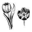Tulip and leaves hand drawn