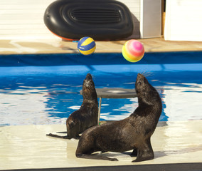 Performance of sea lions