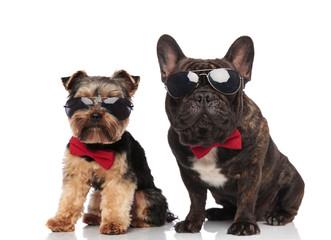 elegant dog couple wearing sunglasses and bowties sitting © Viorel Sima