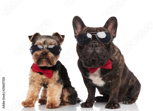 elegant dog couple wearing sunglasses and bowties sitting