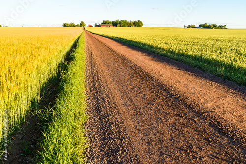 Fotobehang Oranje Barley and wheat fields divided by a country road on a sunny summer evening. Farm and horizon in the background. Location Vaderstad in Sweden.