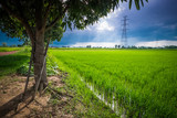 Rice Field with Mango Tree and Electricity Pole - 216667375
