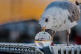 Seagull meets Lensball