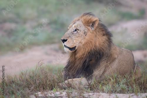 Foto Spatwand Lion Majestic male lion