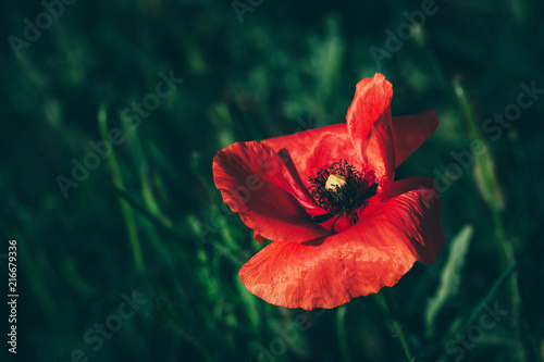Foto Spatwand Klaprozen Single poppy flower in a green grass field.