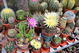 Large collection of various cacti in a greenhouse - 216679526
