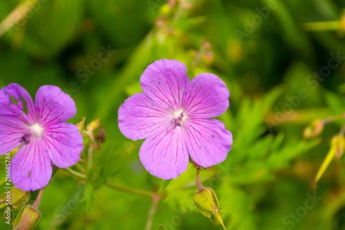 In de dag Azalea View from close range on azalea purple pink