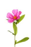 Pink rock-rose flower