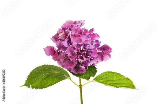 In de dag Hydrangea Purple hydrangea flower