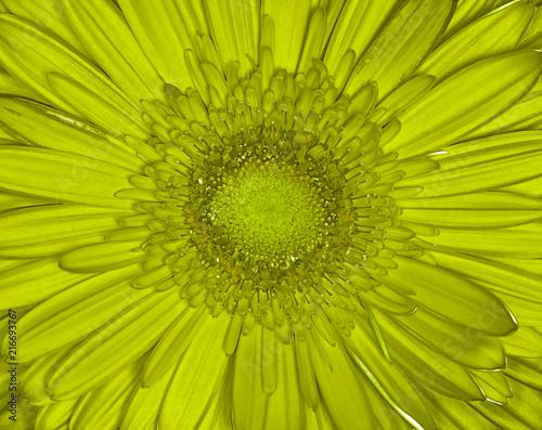 Foto Spatwand Gerbera yellow gerbera flower closeup. Macro background. It can be used in website design and printing.