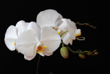 White orchid (orchidaceae) flower on the black background