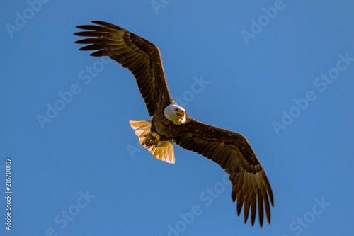 Canvas Eagle Soaring