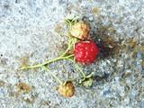 just harvested fresh raspberries