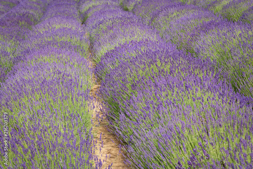 field of blooming lavender.