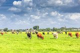 Dutch polder and meadow landscape in the summer with juicy green grass and grazing black and brown white cows against a horizon with hedgerows and farms and a  Dutch cloudy sky