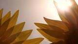 Sunlight is shining through sunflower petals - 216704541