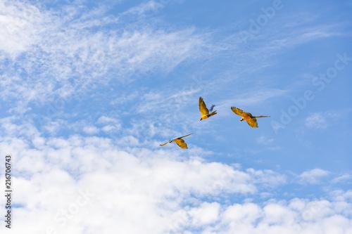 Foto Spatwand Papegaai Blue macaws flying