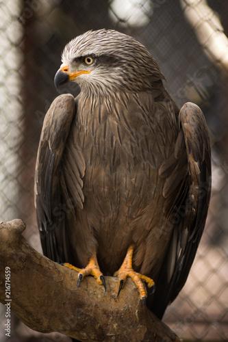 Canvas Eagle falcon in cage