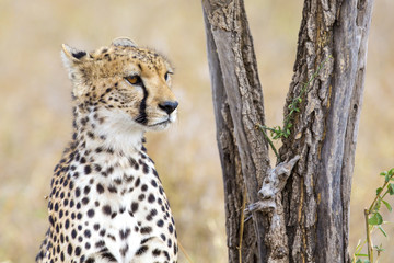 Cheetah rests under tree in Serengeti