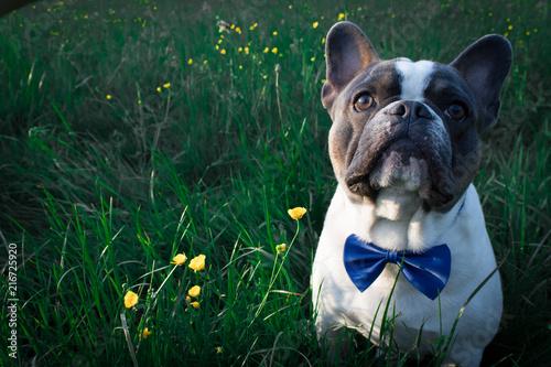 Foto Spatwand Franse bulldog Französische Bulldogge mit Fliege in der Wiese