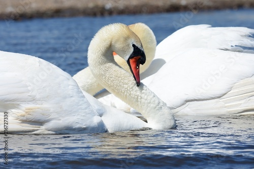 Canvas Zwaan Swans courting ritual