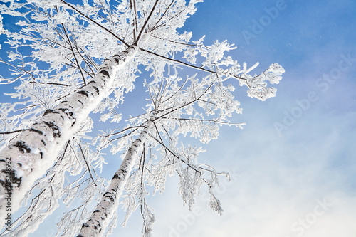 birch covered with hoarfrost - 216728932