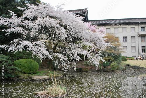Canvas Tokio Cherry blossom in Tokyo, Japan