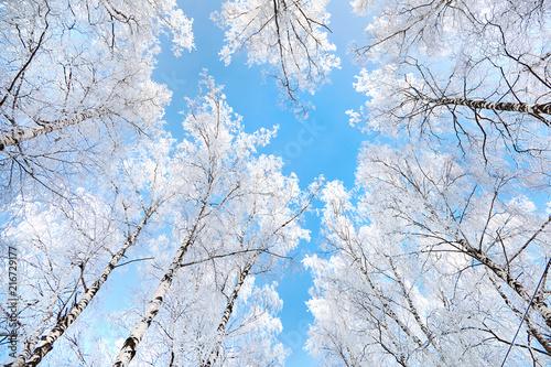 Plexiglas Berkenbos birch covered with hoarfrost