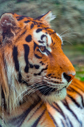 Canvas Tijger Portrait of a big tiger in profile, close-up