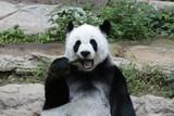 Female Panda in Thailand eating Bamboo Shoot, Lin Hui