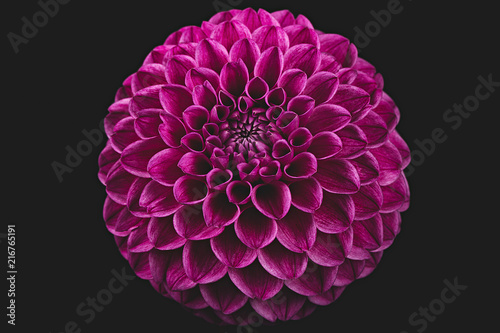 Beautiful red dahlia - 216765191