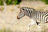 Zebra - 216781310