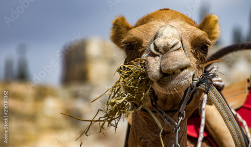 Canvas Kameel Camel head close-up in Jerusalem