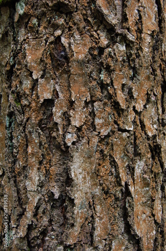 texture of the bark of old birch - 216789538