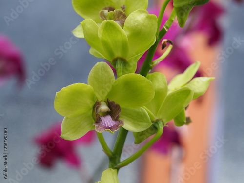 Tropical Yellow Orchid - 216790790