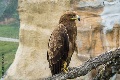 Foto Spatwand Eagle Golden Eagle