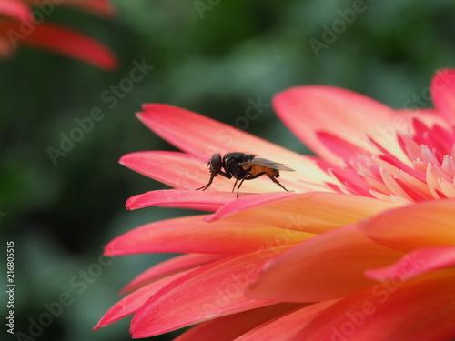 Foto Murales Fly on red Gerbera Flower Close up