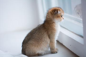 kitten cat scottish straight, lop-eared fluffy, animal © Виктория Резниченко