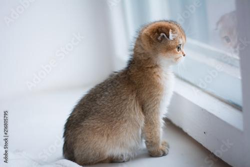 Foto Murales kitten cat scottish straight, lop-eared fluffy, animal